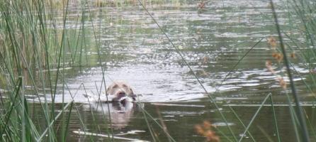 Weimaraner apporterar fågel i vatten