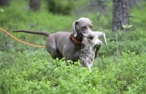 Apportering med unghund